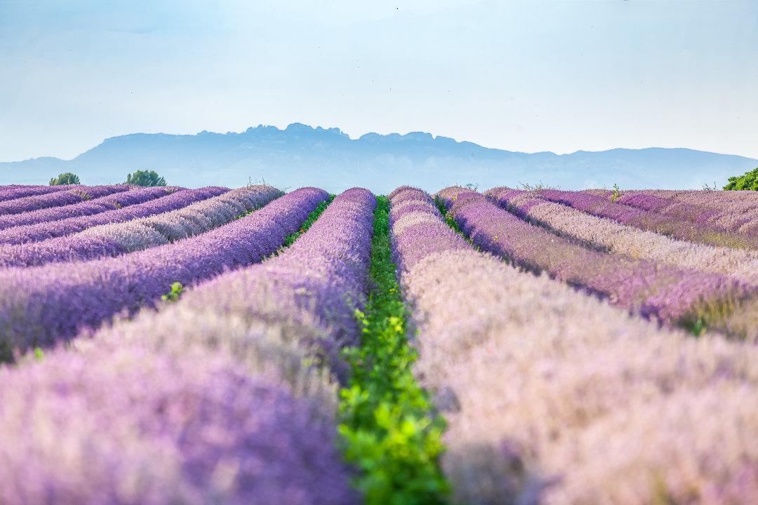 champs de lavande, mariage en Provence