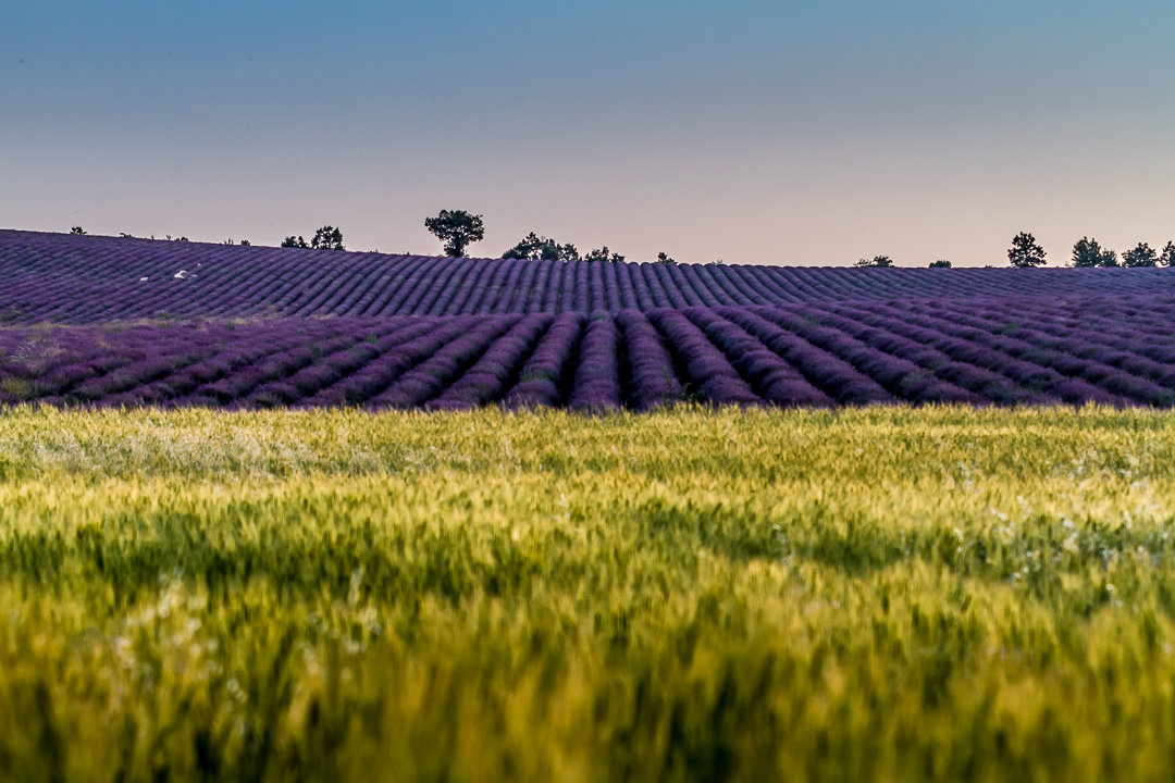 champ de lavande, mariage en Provence