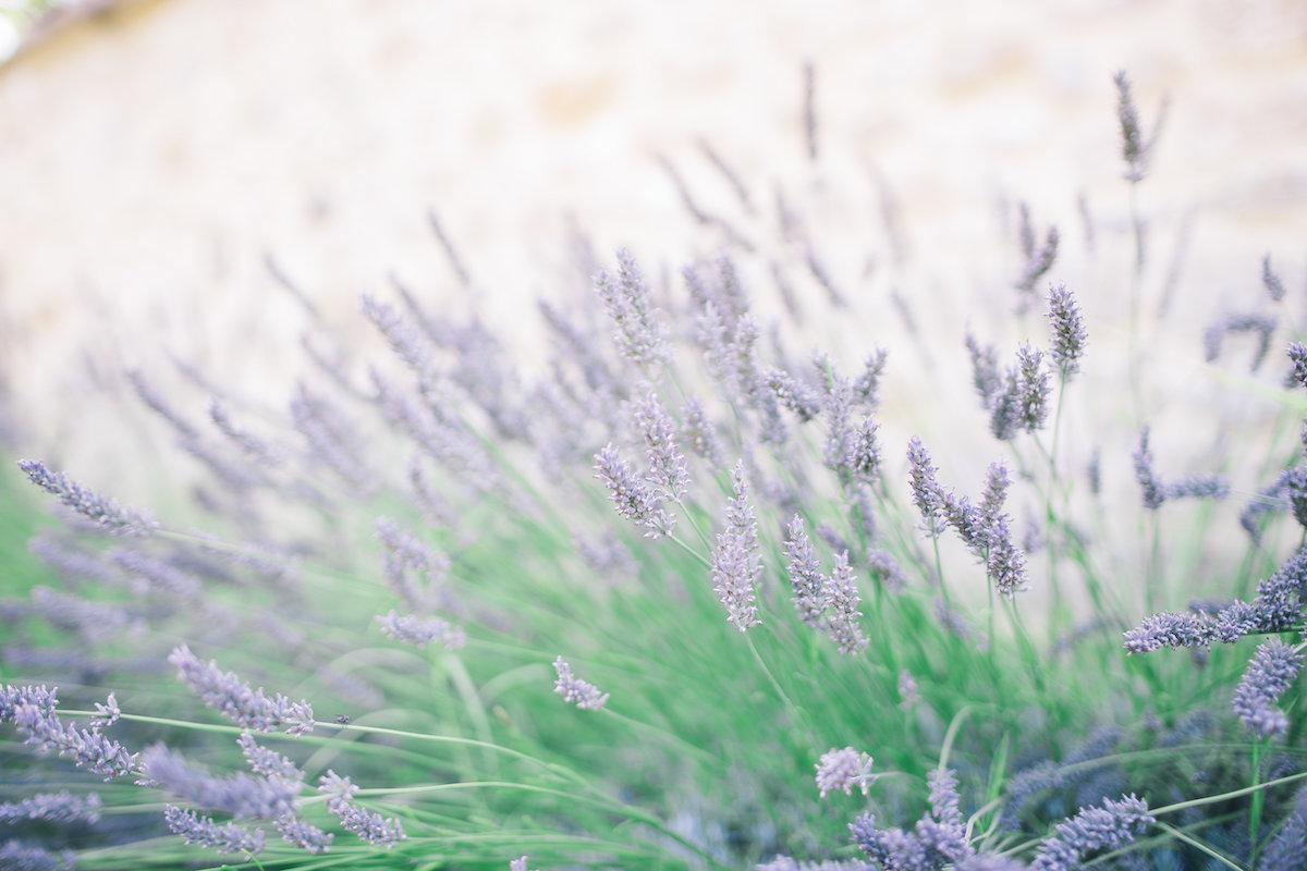 Provence Lavande Mariage